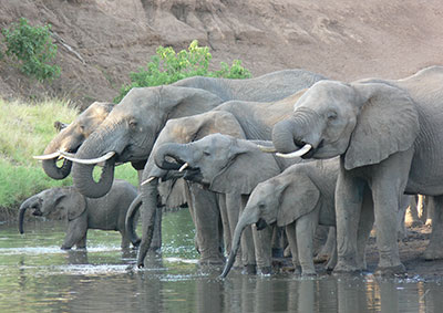 African elephant herd at a river.