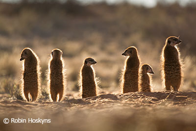 A group of meerkats look out into the open veld