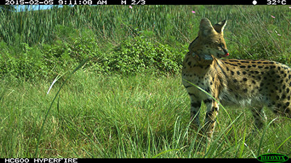Serval (Image supplied by Daan Loock)