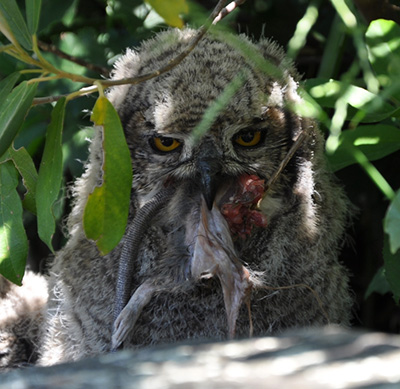 A four-week-old Spotted Eagle Owl swallows a dismembered rat