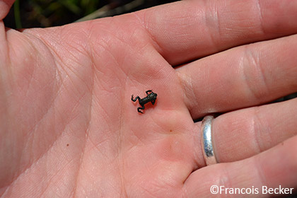 Rose's mountain toadlet