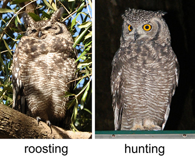 Spotted Eagle Owl - Roosting and hunting