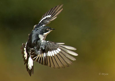 Well-timed shot of a Fiscal Flycatcher in flight, clearly showing the white on the tail feathers and flight feathers. ©Mark Drysdale.