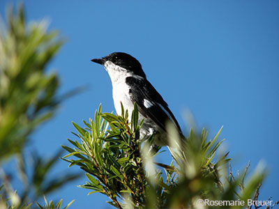 Fiscal Flycatcher perched atop a tree. ©Rosemarie Breuer.